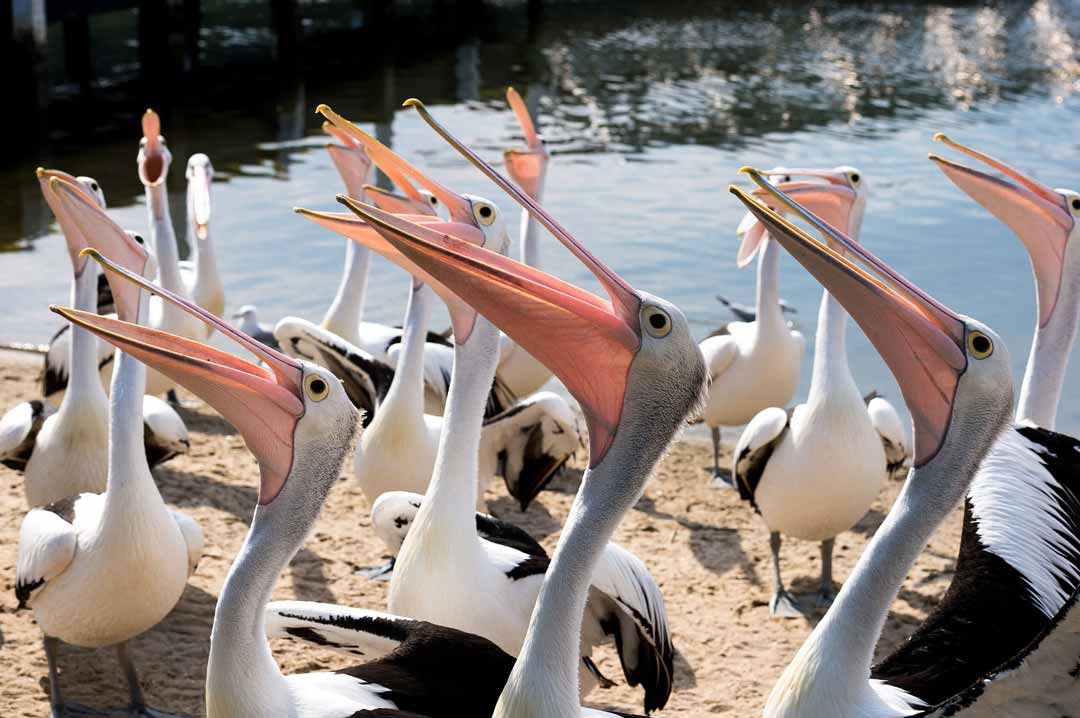 A pod of pelicans on the edge of a lake with mouths open depicts a community looking for information